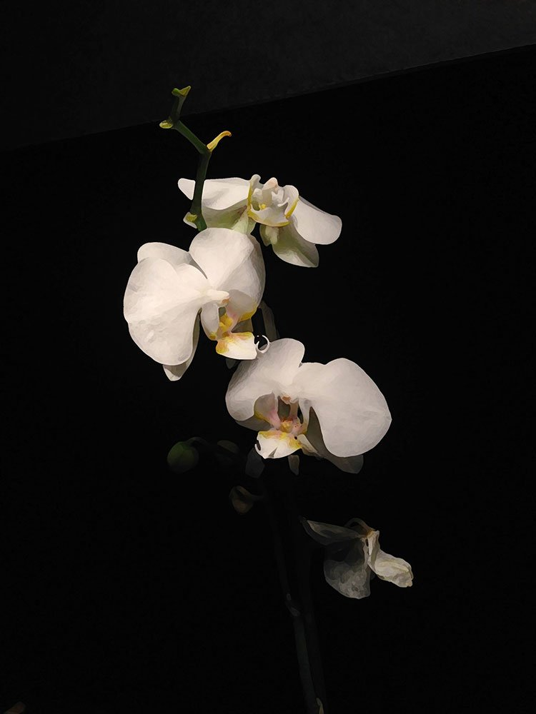 White Orchid Painting: reference photo with dry brush filter