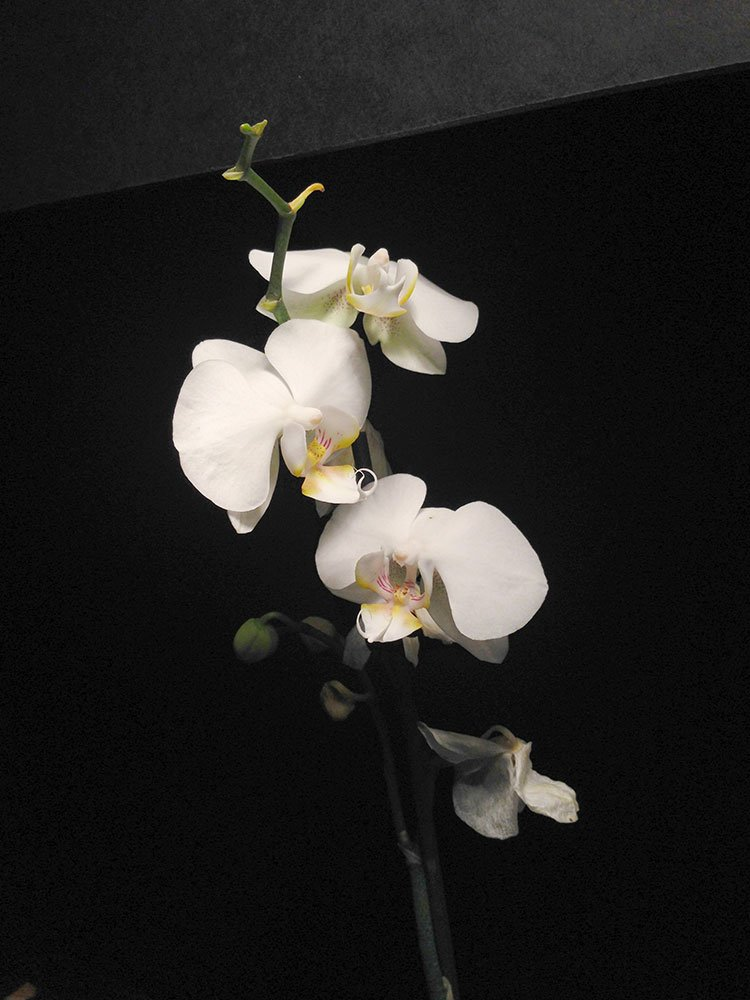 White Orchid Painting: over exposed photo