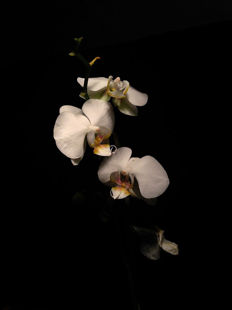 White Orchid Painting: under exposed photo