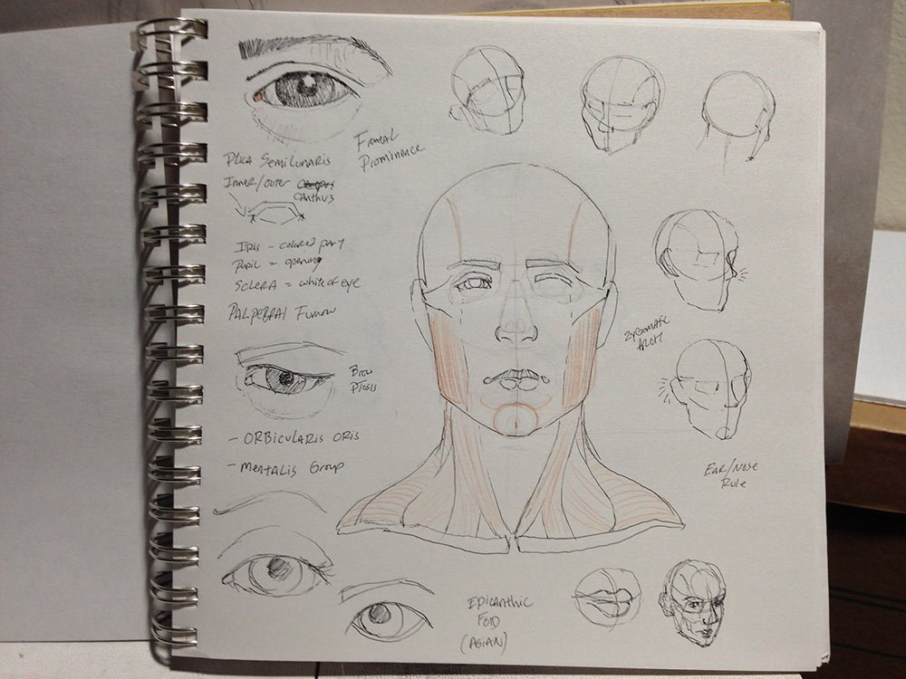 Head Anatomy Study: front